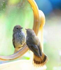 How sweet is this????  #bird reflection in mirror: Mirror Mirror, Animals, Reflection, Creature, Pretty Birds, Beautiful Birds, Photo, Pretty Birdie