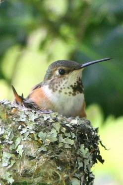 Hummingbird seems to be looking for that Hummingbird feeder. Maybe. How big is a hummingbird? How big is a cardinal? How about a turkey vulture? Compare the sizes of the birds and their nests. Ohhh, what about the eggs, what do they look like? How are the