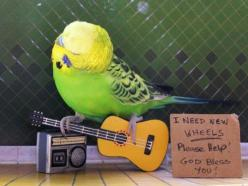 i am so gonna do this as soon as i figure out how to play the guitar: Animals Tigers, Bird Guitar, Budgie Birdie, Birds Fow, Budgies, Pet Birds, Amazing Birds