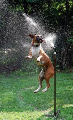 I had a Boxer that loved sprinklers like this too.. <3: Water, Picture, Animals, Boxer Dogs, Sprinkler, Pets, Funny, Boxers, Friend