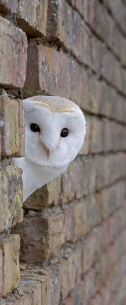 I see you~ Barn Owl // James Boardman-Woo: Animals, Children, Peekaboo, Peek A Boo, Birds, Snowy Owl, White Owl, Barn Owls