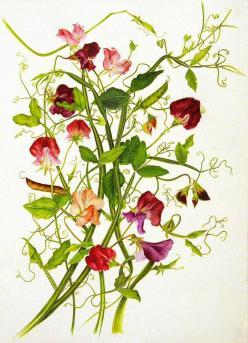 Lovely sweet peas watercolor by Milly Acharya. Sweet peas are one of my favorite flowers and scents and watercolor is one of my favorite art mediums: Watercolor, Illustration Artists, Sweets, Sweetpeas Forget Me Nots, Botanical Illustrations, Lathyrus Odo