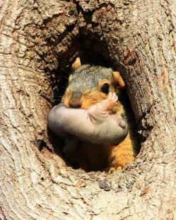 ♥  Mom carrying her infant in her mouth...: Animals, Critters, Mothers, Squirrels, Baby, Mom