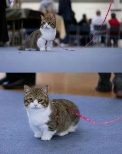 Munchkin cat... those short stumpy legs are adorable!  Christina you need a cat with stumpy legs like your dog.: Cats, Munchkin Cat, Animals, Dwarf Cat, Pets, Things, Dog, Cat I, Cat Lady