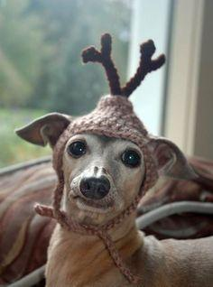 Oh my...a reindeer hat.  My cats would kill me if I would try that on them. But this dog looks quite pleased.: Reindeer Dog, The Grinch, Cat, Dogs, My A Reindeer, Reindeer Hat, Christmas Pet, Animal