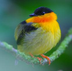 Orange Collared Manakin, endemic breeder resident in Costa Rica & western Panama: Colorful Birds, Animals, Nature, Poultry, Orange Collared Manakins, Costa Rica, Fine Feathered, Beautiful Birds