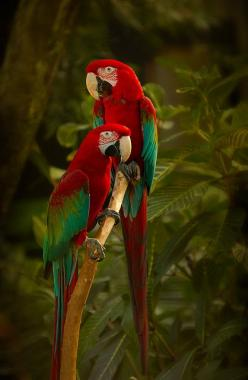 parrots: Animals, Scarlet Macaw, Parrots, Scarlett Macaw, Beautiful Birds, Green Winged Macaws