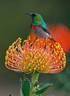 Plz like, comment or repin my stuff:) it would be appreciated . follow me www.instagram.com/rockstarking << Cinnyris chalybeus, Southern Double-collared Sunbird. South Africa: Animals, Southern Double Collared, Nature, Beautiful Birds, Flowers, Doub
