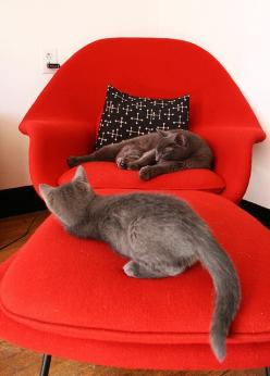 Red? Check. Knoll Womb Chair? Check. Eames B+W Dot Cushion? Check. Adorable Kitties? CHECK AND CHECK!: Cats Katten, Cats Relaxing, Cat Baby, Cute Cats, Chair Cats, I ️Cats, Baby Cats, Cats Baby