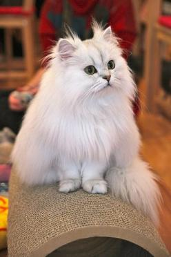 Silver persian kitty  Really like the extra fur on this cat's face.: Cats, A Cats Persian Favorite ️, Kitty Cats, Beautiful Cats, Pet, Persian Cats, Kittens, Persian Kitty, Animal