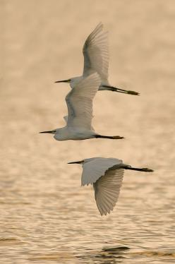 Snowy Egrets | Flickr - Photo Sharing!: Nature, Blue, Wings, Beauty, Beautiful Birds, Animals Birds, Photography, Snowy Egrets