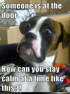 "Someone is at the door  How can you stay calm at a time like this?!   ""Baffled Boxer"" Meme: Animals, Dogs, Boxer, Funny Stuff, Funnies, Humor, Funny Animal"