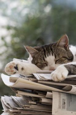 speakmeowww:  Can I sleep like this?? Like right now please?? I've been deprived of sleep for the longest time. :/: Cats, Animals, Reading, Sunday Paper, Sleepy Kitty, Pet, Kitty Kitty, Cat Naps, Newspaper