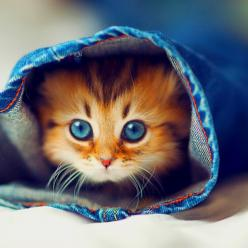 sweet blue-eyed kitten.  I have a shirt with this kitty on it!: Cats, Animals, Kitty Cat, Pet, Jeans, Blue Eyes, Adorable, Kittens, Peek A Boo