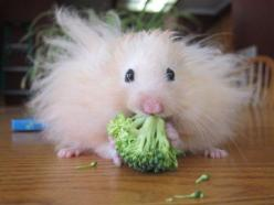 There isn't enough time to eat healthy and fix your hair.: Animals, Stuff, Hairs, Pets, Hamsters, Bad Hair, Funny, Broccoli, Things