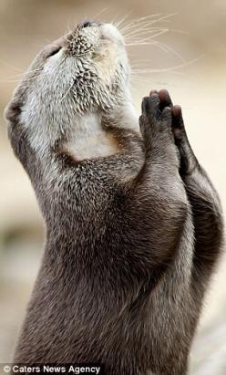 This incredible photo captured the spiritual moment a faithful otter looked to the heavens for guidance on catching his next meal.: Dear God, Otter Prayer, Animals, Dear Lord, Fish, Otters, Funny, Praying Otter