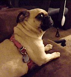 This pug who saw something — SOMETHING — that none of us will ever believe. | The 47 Absolute Greatest Dog GIFs Of 2013