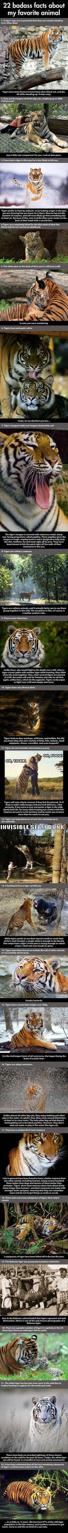 Tiger Facts ~ donate to wildlife conservation to save these precious creatures from extinction!: 22 Badass, Animals, Big Cats, Badass Facts, Favorite Animal, Tigers, Awesome Tiger, Tiger Facts, 22 Facts