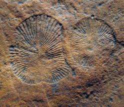 """Two specimens of the wonderfully weird fossil Dickinsonia, a 550-million-year-old, flat, corrugated fossil """"thing"""" from the Ediacaran Hills of South Australia. What is it? After more than 60 years of study, we're still not sure, although we think it's an"""