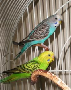 Want to train your parakeet to talk?  HERE'S HOW!: Parakeet Cage, Parakeets Training, Pet Budgies, Pet Bird Cage, Parakeets Birds, Bird Pet, Budgies Training, Budgies Parakeet