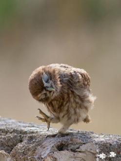 Why, thank you kind sir!: Animals, Little Owl, Baby Owl, Funny, Things, Dance, Birds, Owls, Hoot