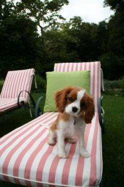 yes!: Spaniel Puppies, Cavalier Spaniel, Cute Puppies, Lounge Chairs, Preppy Puppy, King Charles Spaniels, Animal