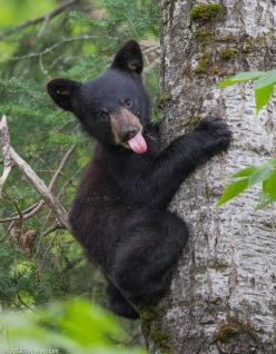"""Hope you have a good smile today."" -  photographer Tim Halverson: Bears Bears, Tin Man, Animal Kingdom, Black Bears, Wild Animals, Playful Kid, Baby Animals, Photo, Bear Cubs"