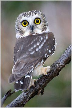 "(""SAW-WHET OWL"") ....: Earl Reinink, Owl 20130925 1322, Owl Photo, Saw Whet Owl, Birds, Owls, Animal, Eye"