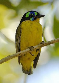 'The Schlegel's Asity (Philepitta schlegeli) is a species of bird in the Philepittidae family. It is endemic to Madagascar.: Natural Habitats, Philepittidae Family, Schlegel S Asity, Amazing Birds, Beautiful Birds, Animal