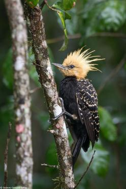 A female Blond-crested Woodpecker photographed in the Atlantic Rainforest of SE Brazil.  Bird photography by Octavio Campos Salles.: Poultry, Woodpecker Photographed, Birdie, Beautiful Birds, Birds Woodpeckers