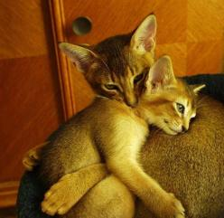 Abyssinian are the most affectionate felines I've ever met.: Animals, Kitten, Sweet, Mother, Kitty Hug, Chat, Abyssinian Cats, Photo
