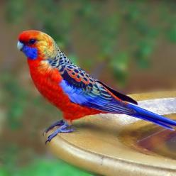 ✰ Adelaide Rosella ✰ (RO: Papagal Rosella) endemic to South Australia. Is presently believed to have originated through interbreeding of the Crimson and Yellow Rosellas.: Crimson Rosella, Parrots, Rosella Platycercus, Platycercus Elegans, Birds, Photo, An