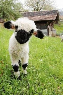 adorable...: Farm Animals, Baby Lamb, Critter, Adorable Animals, Pet, Box, Baby Animals, Baby Sheep