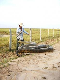 ANACONDA #reptile #snake  (That man is a few cells short in the brain dept you'd only see dust in my wake!): Photos, Nature Animals, Animals Sssnakes, Paraguay, Anaconda, Creatures, Big Snakes, Amazing Animals, Amphibians