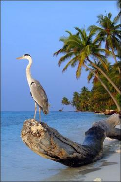 Beach Life: Beaches, Animals, Beauty Blue Heron, Grey Heron, Simple Beauty Blue, Beautiful Birds