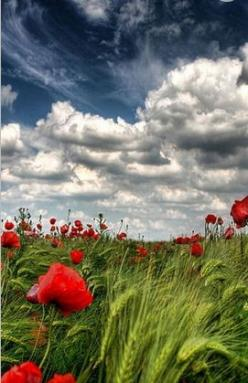 Beautiful Flowers & Sky: Photos, Nature, Beautiful, Cloud, Poppies, Places, Flower