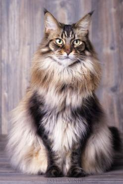 Beautiful Maine Coon Cat. What are the 5 largest domestic cat breeds? See at http://kittycommotion.com/cat-facts!: Beautiful Cats, Maine Coon Cat, Kitty Kitty, Coon Cats, Cat Breeds, Fluffy Cat, Domestic Cat, Animal, Mainecoon