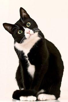 black & white cats: Cats Cats, Kitty Cats, Kitten, Tuxedo Cats, Black And White, White Cats, Black White, Kitty Kitty, Animal