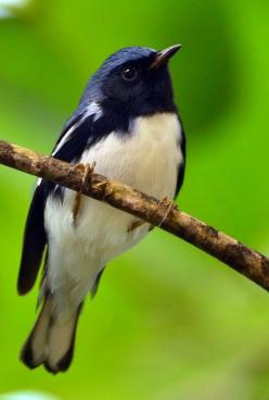 Black-Throated Blue Warbler by delphinusorca. Breeds in E N.A. - migrates to the Caribbean & CntAm in winter: Birds Birds, Birds Warblers, Birdie, Black Throated Blue, Birds Feathered Wonders, Beautiful Birds, Animal