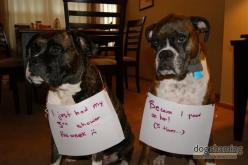 Boxer shaming :-): Doggie, Bored Panda, Funny Things, Boxer Shaming, Boxers, Dogs Pictures, Animal Shaming, Pet Shaming