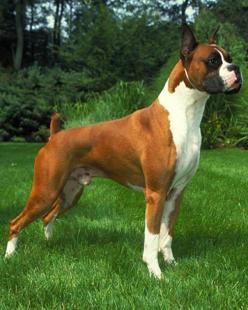 Boxer - The Boxer was developed in Germany as a medium-sized security dog. The breed combines the blood of a mastiff-type breed that was used for hunting, herding and protection with that of the Bulldog. The result is a smooth-coated, agile dog measuring