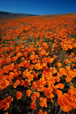 California Poppies: Antelope Valley    The California Poppies are out in full bloom on the hillsides of Antelope Valley right now, as long as you come at the right time. The poppies close up at night and don't open again until around 9 or 10 am, when