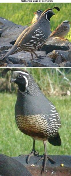 California Quail ~ Our State bird -- They come in our yard with their teeny, tiny babies. They're so cute! I love them!: Button Quails, Quail State Bird, Codornizes Quail, Quail Birds, Awesome Birds, Birds California, Birds Gotta, California Quail Sta
