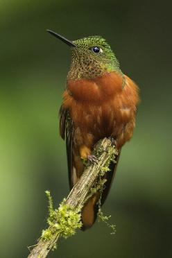 Chestnut-Breasted Coronet (Boissonneaua matthewsii) is a species of hummingbird in the Trochilidae family.: Humming Birds, Coronet Portrait, Beautiful Birds, Hummingbirds, Animal
