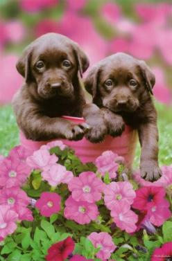 Chocolate Lab Puppies in Petunias: Labrador Retriever, Animals, Chocolates, Dogs, Chocolate Labs, Chocolate Lab Puppies, Pets, Puppys, Chocolate Labrador
