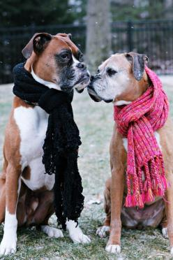 """Click visit site and Check out Best """"Boxer"""" T-shirts. This website is excellent.  Tip: You can search """"your name"""" or """"your favorite shirts"""" at search bar on the top.: Boxers Boxers, Luv Boxers, Boxer Dogs, Sweet, Boxers Gotta, Boxe"""