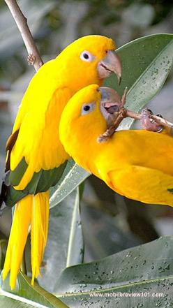 colored birds: Beautiful Birds, Yellow Parrots, Yellow Birds, Animal