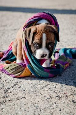 DO THESE COLORS GO WITH MY FUR?: Face, Boxer Dogs, Color, Boxer Puppies, Pet, Boxers, Animal