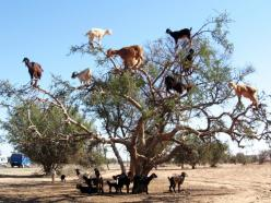 Dubai — The Tree Goats of Morocco. A Truly Incredible Natural Phenomena!!! Goats on trees are found mostly only in Morocco. The goats climb them because they like to eat the fruit of the argan tree, which is similar to an olive. And before you start yelli