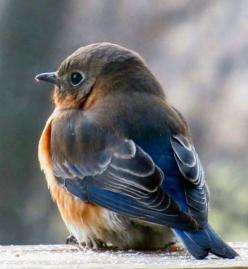 Eastern Bluebird, female.: Bluebirds, Baby Bluebird, Little Birds, Birdie, Beautiful Birds, Blue Birds, Animal